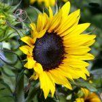 چرا روغن آفتابگردان یک روغن دارویی محسوب میشود؟