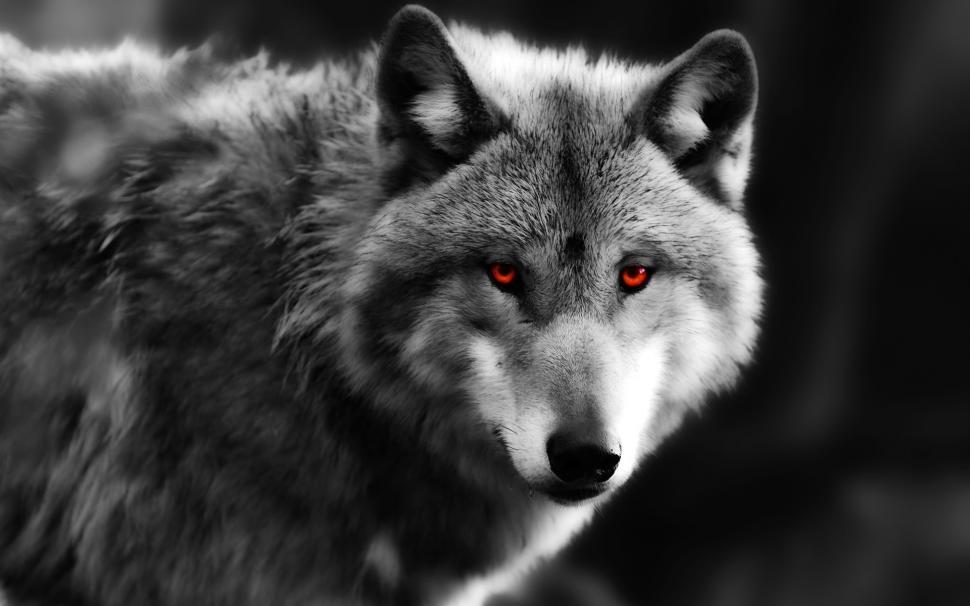 گرگ شکارچی چشم قرمز سیاه و سفید