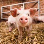 احيای مغز خوک چهار ساعت پس از مرگ